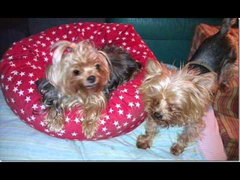 A Tribute to Lolita - a special little Yorkie who died today. 25